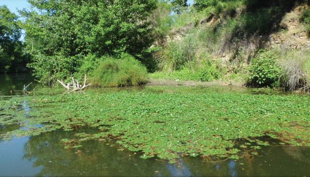Lutte contre les espèces invasives: après les renouées, éradication des jussies